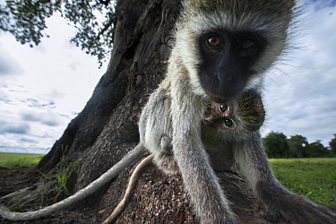 Vervet monkey (Cercopithecus aethiops) female with suckling baby looking at camera with interest, Maasai Mara National Reserve, Kenya.  Taken with remote wide angle camera.