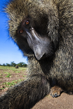 Olive baboon (Papio anubis) male peering into camera with curiosity, Maasai Mara National Reserve, Kenya.~Taken with remote wide angle camera.