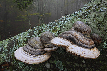 Horse's hoof / Tinder fungus (Fomes fomentarius), Alberes Mountains, Pyrenees, France, October.