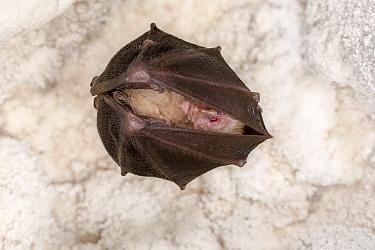 Lesser horseshoe bat (Rhinolophus hipposideros) roosting in cave. Croatia. November.