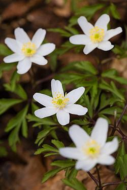 Wood anemone (Anemone nemorosa) flowers in Beech woodland, Buckholt Woods National Nature Reserve, Gloucestershire, UK. April.