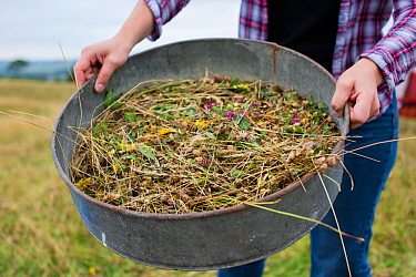 Meadow grassland seed harvesting by the Cotswolds Conservation Board, Syreford, Gloucestershire, UK. July 2015.