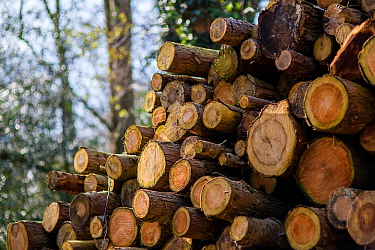 Timber stacked up for seasoning at a sawmill at Buckholt Woods, Gloucestershire, UK. March.