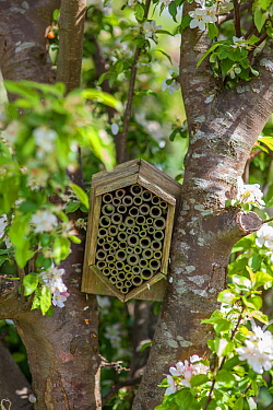Garden insect box positioned in an apple tree, Stroud, Gloucestershire, UK. May.
