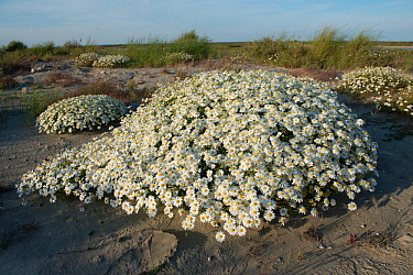 Sea chamomile (Anthemis maritima) growing in sand dunes, Camargue, France, May.