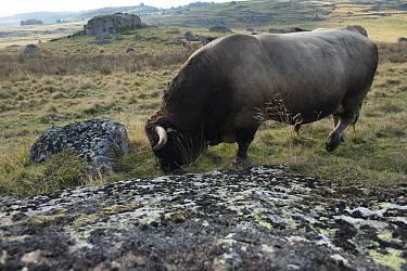 Aubrac bull, Nasbinals, Aubrac, Languedoc, France, September.