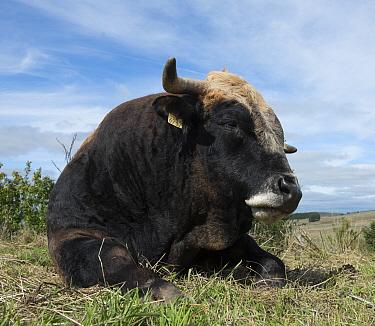 Aubrac bull resting, Nasbinals, Aubrac, Languedoc, France, September.