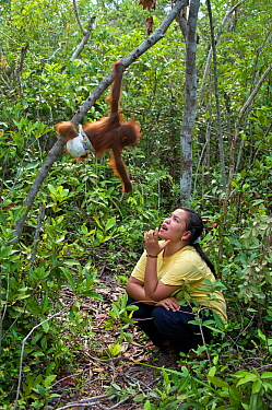 Bornean Orangutan (Pongo pygmaeus) baby climbing as it is trained to explore, looking down at carer. Orangutan Care Center, Borneo, Indonesia.