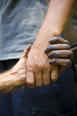 Bornean Orangutan (Pongo pygmaeus) juvenile holding hands with carer. Orangutan Care Center, Borneo, Indonesia.