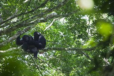 Eastern Common Chimpanzee (Pan troglodytes schweinfurthii) male and young female grooming, Budongo Forest Reserve, Uganda.