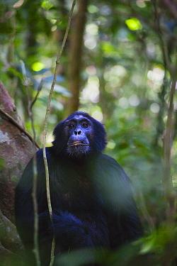 Eastern Common Chimpanzee (Pan troglodytes schweinfurthii) male. Budongo Forest Reserve, Uganda.