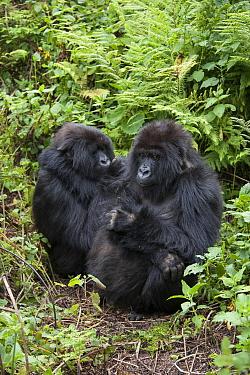 Mountain Gorilla (Gorilla gorilla beringei) females resting, Parc National des Volcans, Rwanda. Endangered species.