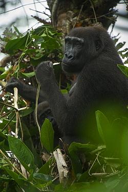 Western lowland gorilla (Gorilla gorilla gorilla) female feeding in tree with infant. Ngaga, Odzala-Kokoua National Park, Republic of Congo (Congo-Brazzaville), Africa. Critically Endangered species.