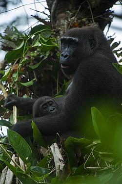 Western lowland gorilla (Gorilla gorilla gorilla) female and infant in tree. Ngaga, Odzala-Kokoua National Park, Republic of Congo (Congo-Brazzaville), Africa. Critically Endangered species.