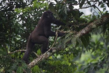 Western lowland gorilla (Gorilla gorilla gorilla) climbing fallen trunk. Ngaga, Odzala-Kokoua National Park, Republic of Congo (Congo-Brazzaville), Africa. Critically Endangered species.