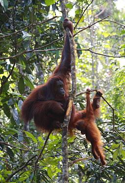 Bornean orangutan (Pongo pygmaeus) outside sanctuary. Kuwching, Sarawak, Malaysia. August 2010.