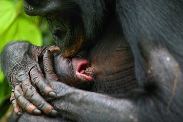 Bonobo (Pan paniscus) mother holding newborn baby, Lola Ya Bonobo Sanctuary. Democratic Republic of the Congo.