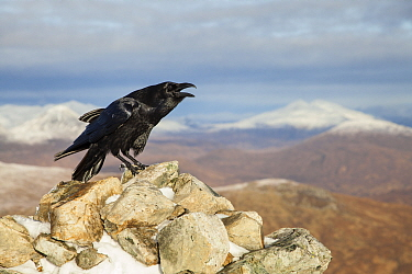 Raven (Corvus corax) adult calling from rock in mountain habitat, Scotland, UK. November. Third place in  British Birds Bird Photograph of the Year competition 2016.