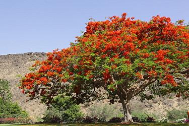 Royal poinciana (Delonix regia) in bloom in park, Oman, May