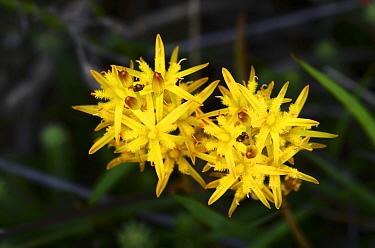 Bog asphodel (Narthecium ossifragum) in flower, Studland Heath NNR, Dorset, UK July