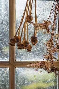 Potting shed window with dried seed heads. England, UK. February.