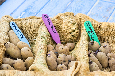 Potato (Solanum tuberosum), 'Arran Pilot', 'Juliette' and 'Sharpes Express', set to chit prior to planting, England, UK. February.