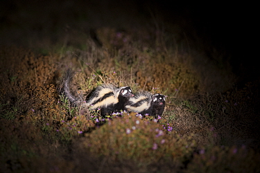 Striped polecat (Ictonyx striatus) pair lit up by light. Liuwa Plain National Park, Zambia. May