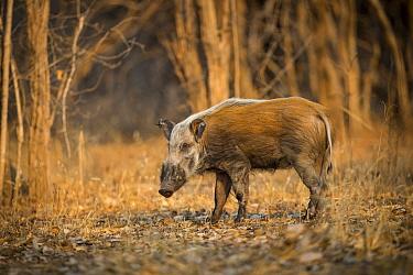Bushpig (Potamochoerus larvatus) standing in a clearing. South Luangwa, Zambia. October