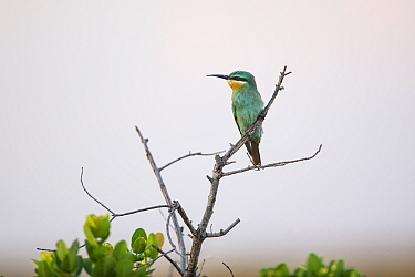 Blue-cheeked bee-eater (Merops persicus) perched on tree. Liuwa Plain National Park, Zambia. November
