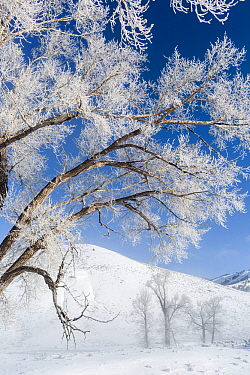 Frosted Cottonwood trees (Populus deltoides) at Buffalo Ranch, Lamar Valley, Yellowstone National Park, Wyoming, USA. February 2016.