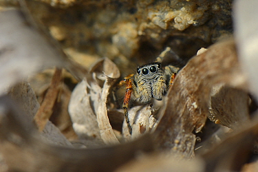 Beautiful Jumping spider  / Beautiful jumper (Philaeus / Phylaeus chrysops) hunting among the tide wrack of Seagrass leaves on a beach, Lesbos / Lesvos, Greece, May.