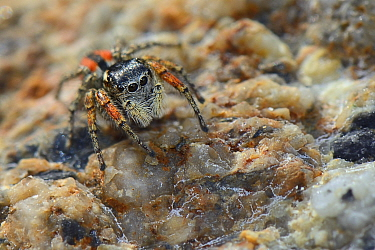 Beautiful Jumping spider  / Beautiful jumper (Philaeus / Phylaeus chrysops) hunting on rocks behind a beach, Lesbos / Lesvos, Greece, May.