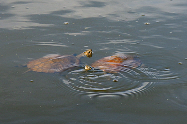 Two Western Caspian pond turtles / Balkan stripe-necked terrapins (Mauremys caspica rivulata) swimming in a pond with their heads above water, Isle of Lesbos / Lesvos, Greece, May.