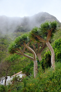 Canary Islands dragon trees / Drago (Dracaena draco) endemic to the Canaries  and Cape Verde islands, Chamorga village, Anaga mountains, Tenerife, May.