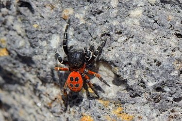 Male Ladybird spider (Eresus cinnaberinus / niger) searching for females on a rock face, Lesbos / Lesvos, Greece, May.
