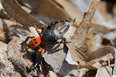 Male Ladybird spider (Eresus cinnaberinus / niger) searching for females, Lesbos / Lesvos, Greece, May.