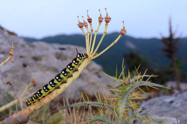 Spurge hawkmoth caterpillar (Hyles euphorbiae) on Broad-leaved glaucous spurge / Myrtle spurge (Euphorbia myrsinites) stripped of its leaves, on limestone mountain top, Mount Olympus, Lesbos / Lesvos,...
