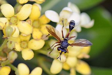 Thick-headed fly (Physocephala rufipes), a parasite of bees, feeding on Japanese mock orange flowers (Pittosporum tobira), Lesbos/ Lesvos, Greece, May.