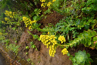 Tree houseleek (Aeonium cuneatum), an endemic species of the Anaga mountians, flowering flowering on a rocky roadside slope in montane laurel forest, Anaga Rural Park,Tenerife, May.