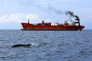Blue whale (Balaenoptera musculus brevicauda) at surface with ship travelling in the shipping lane along the coast of Sri Lanka, Indian Ocean.