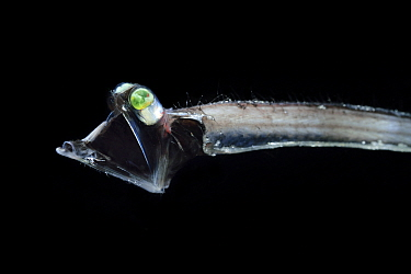 Threadtail (Stylephorus chordatus) a deep sea  mesopelagic fish species with eyes modified to detect the slightest traces of light. Atlantic Ocean close to Cape Verde.  Captive.
