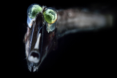 Deep sea Threadtail (Stylephorus chordatus). This deep sea fish is a mesopelagic species with eyes modified to detect the slightest traces of light. Atlantic Ocean off Cape Verde. Captive.
