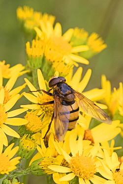 Hoverfly (Volucella inanis) feeding on Ragwort (Senecio jacobaea) Brockley Cemetery, Lewisham, London, UK. July.