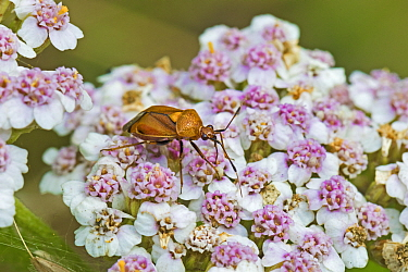 Plant or Capsid bug (Deraeocoris ruber) on yarrow Brockley, Lewisham, London, UK. July.
