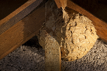 Common wasp (Vespula vulgaris) nest in attic, Bristol. UK.