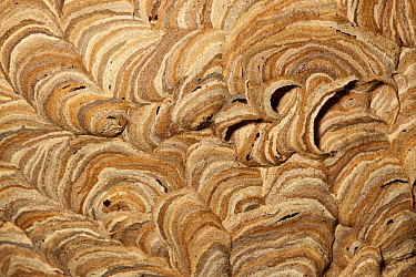 Common wasp (Vespula vulgaris) close up of nest in attic, Bristol. UK.