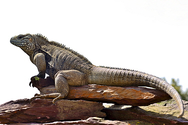 Blue iguana (Cyclura lewisi) captive, endangered species occurs in Cayman Islands.