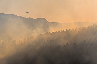 Firefighting helicopter above 2014 Dog Rock wildfire with smoke filled forests of Yosemite National Park, California, USA. October 2014.