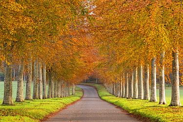 Avenue of autumn trees, Dorset, England UK. November 2014.