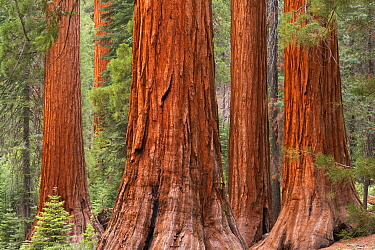 Bachelor and Three Graces Sequoia tress in Mariposa Grove, Yosemite National Park, USA. June 2015.